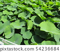 치바 공원 오오가하스 잎에 쌓인 물방울 54236684