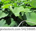 치바 공원 오오가하스 잎에 쌓인 물방울 54236685