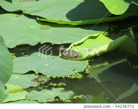 치바 공원 오오가하스 잎에 쌓인 물방울과 작은 거북이 54236772
