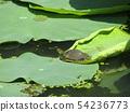 치바 공원 오오가하스 잎에 쌓인 물방울과 작은 거북이 54236773