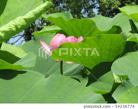 Ogajas桃红色花在千叶公园的 54236774
