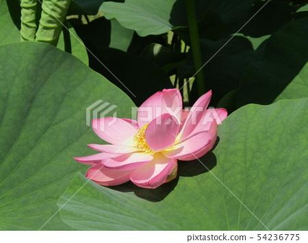 Pink flower of Ogajas at Chiba Park 54236775