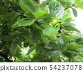 정원에서 자라는 감나무 열매 54237078