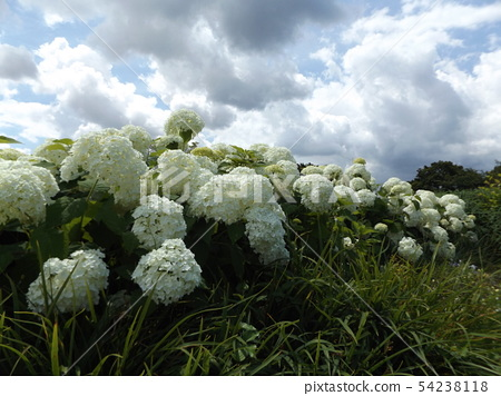 Hydrangea Annabelle White Hydrangea flower and blue sky and white clouds 54238118