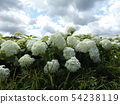 Hydrangea Annabelle White Hydrangea flower and blue sky and white clouds 54238119