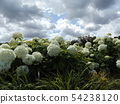 Hydrangea Annabelle White Hydrangea flower and blue sky and white clouds 54238120