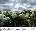 Hydrangea Annabelle White Hydrangea flower and blue sky and white clouds 54238121