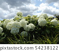 Hydrangea Annabelle White Hydrangea flower and blue sky and white clouds 54238122