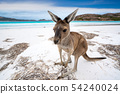 Kangaroo at Lucky Bay in the Cape Le Grand 54240024