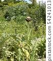 據說Anteichoke是原始物種 54241013
