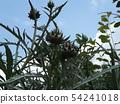 據說Anteichoke是原始物種 54241018