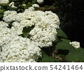 ดอกไฮเดรนเยียสีขาวของต้นโอ๊กในสวนหลังของพิพิธภัณฑ์ดอกไม้ Sanyo Medea 54241464