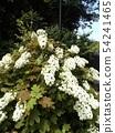 ดอกไฮเดรนเยียสีขาวของต้นโอ๊กในสวนหลังของพิพิธภัณฑ์ดอกไม้ Sanyo Medea 54241465