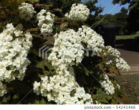 ดอกไฮเดรนเยียสีขาวของต้นโอ๊กในสวนหลังของพิพิธภัณฑ์ดอกไม้ Sanyo Medea 54241466