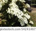 ดอกไฮเดรนเยียสีขาวของต้นโอ๊กในสวนหลังของพิพิธภัณฑ์ดอกไม้ Sanyo Medea 54241467