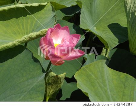 Ogajas桃红色花在千叶公园的 54244897