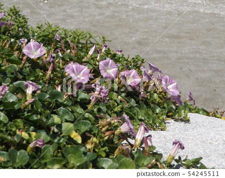 Hamahirugao beautifully bloomed at Kemigawa river 54245511