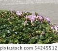 Hamahirugao beautifully bloomed at Kemigawa river 54245512
