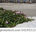 Hamahirugao beautifully bloomed at Kemigawa river 54245513