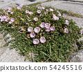 Hamahirugao beautifully bloomed at Kemigawa river 54245516