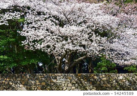 벚꽃,삼성혈,제주시,제주도 54245589