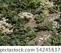 모래에 성장 갯 방풍의 흰 꽃 54245637