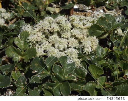 ดอกไม้สีขาวของฮามาบุฟุที่ปลูกบนหาดทราย 54245638