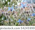 A blue star-shaped flower is a Borage flower 54245999
