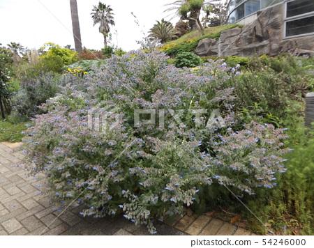 A blue star-shaped flower is a Borage flower 54246000