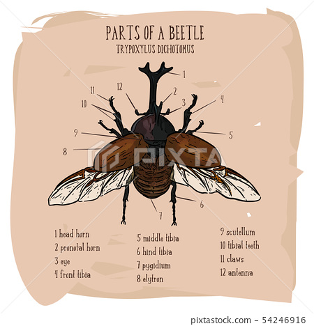 Japanese rhinoceros beetle (Trypoxylus dichotomus) 54246916