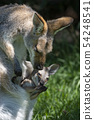 Wallaby mom and baby 54248541
