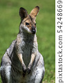 Kangaroo 54248669