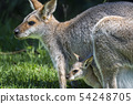 Parent and child of wallaby 54248705