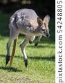 Hopping Kangaroo 54248805