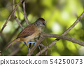 Female Barred Antshrike, Thamnophilus doliatus 54250073