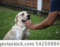 Labrador retriever dog shakehand with owner 54250994