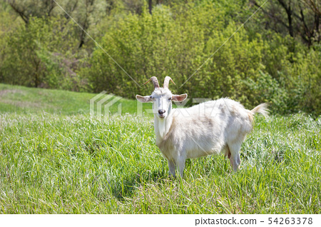 White goat on a green meadow. Walking agriculture. 54263378