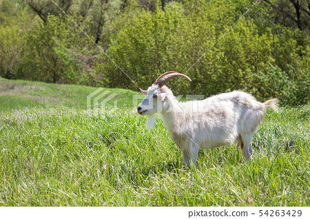 White goat on a green meadow. Walking agriculture. 54263429