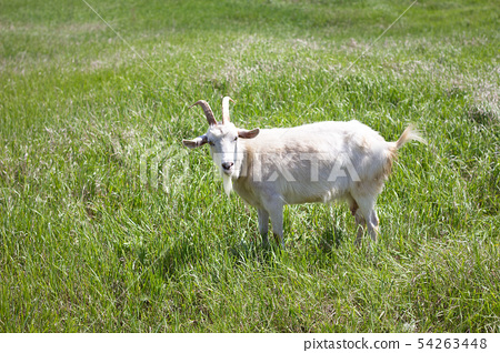 White goat on a green meadow. Walking agriculture. 54263448