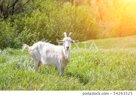 White goat on a green meadow. Walking agriculture. 54263525