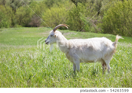 White goat on a green meadow. Walking agriculture. 54263599