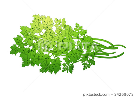 fresh herbs isolated on white background. Spring greens hand draw illustration 024 54268075