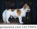 Long hair chihuahua dog on table 54270945