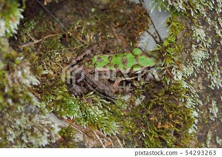 斯文豪氏赤蛙 Odorrana swinhoana(Boulenger, 1903) 尖鼻赤蛙、棕背 54293263