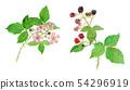 懸鉤子屬fruticosus黑莓花和漿果 54296919