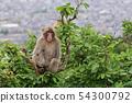 나무 꼭대기에 앉아 원숭이 54300792
