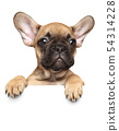 Close-up of a French Bulldog Puppy above banner, 54314228