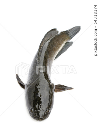 Image of striped snakehead fish isolated on white 54318174