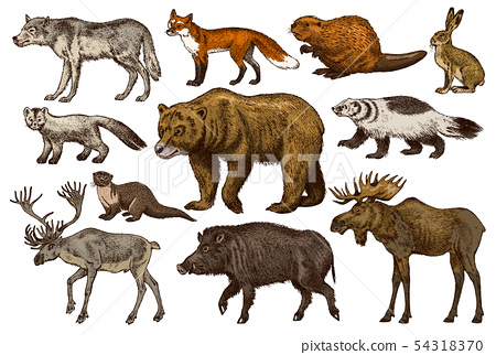 Set of Wild animals. Brown Grizzly Bear Forest Moose Red Fox North Boar Wolf Sable Badger Gray Hare 54318370