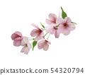 Branch of sakura with flowers and leaves  54320794